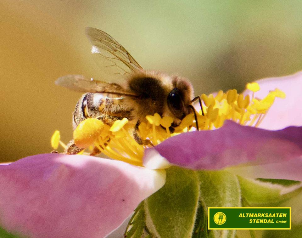 Biene sammelt Nektar, auf Blüte